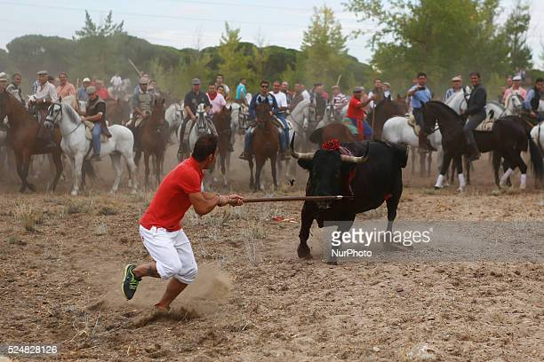 Lancer Alvaro Martin 28 spear the bull named quotElegidoquot to death during quotel toro de la vega tournamentquot at Tordesillas Castilla y Leon...