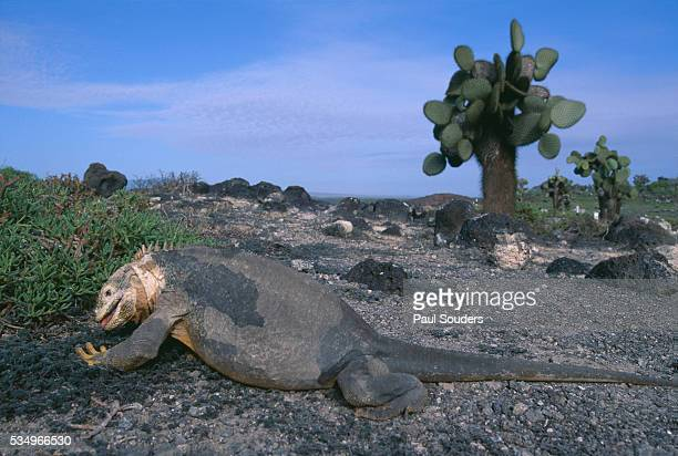 land iguana and cactus - land iguana stock photos and pictures