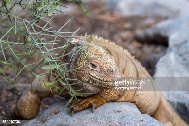 A land iguana at the San Cristobal Island tortoise breeding center in the highlands of San Cristobal Island or Chatham Island in the Galapagos...