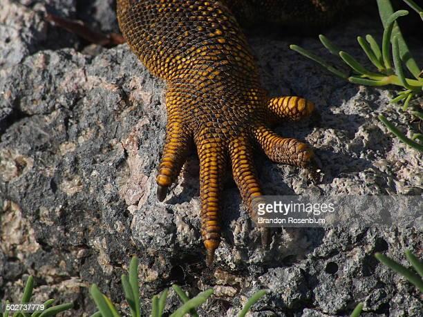 land iguana claws - iguana fotografías e imágenes de stock