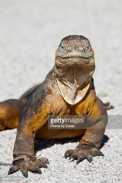 Land Iguana Conolophus subcristatus Galapagos North Seymour Ecuador