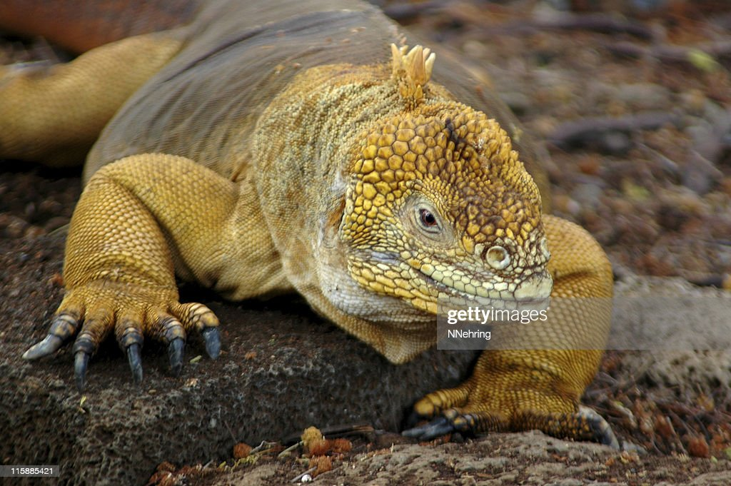 land iguana, Conolophus subcristatus : Stock Photo