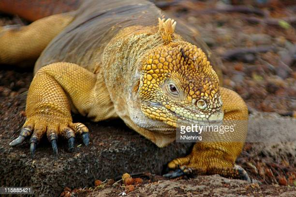 land iguana, conolophus subcristatus - galapagos islands national park stock photos and pictures