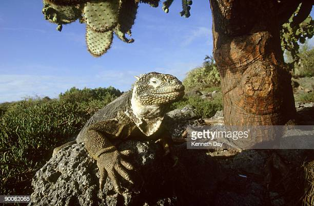 land iguana: conolophus subcristatus,  with opuntia,  galapagos is. - land iguana stock photos and pictures