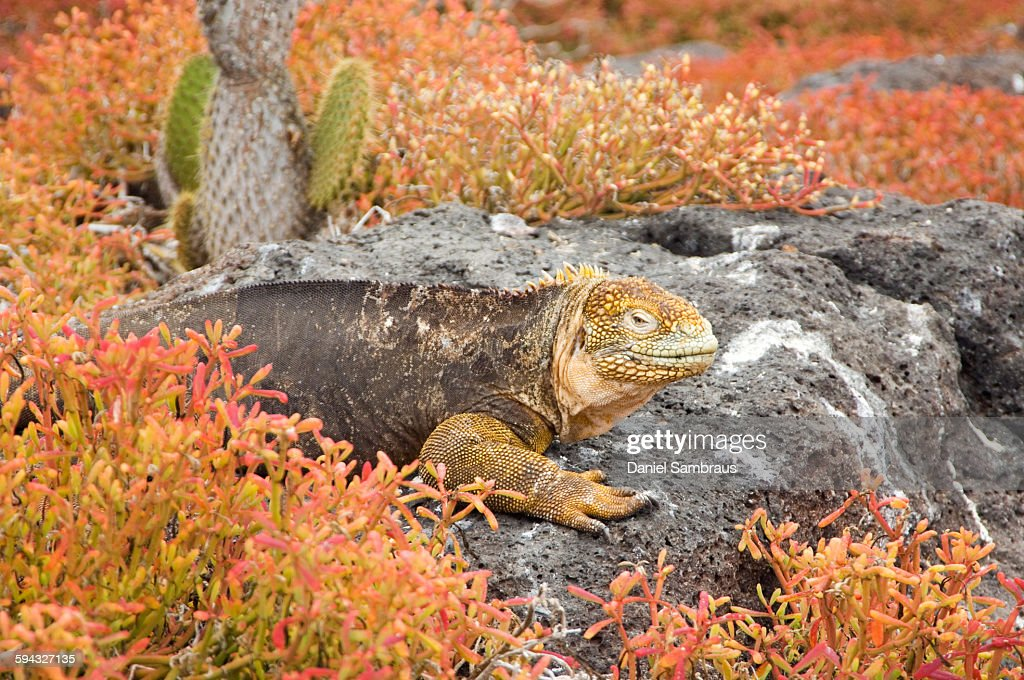Land Iguana, Galapagos Islands : Stock Photo