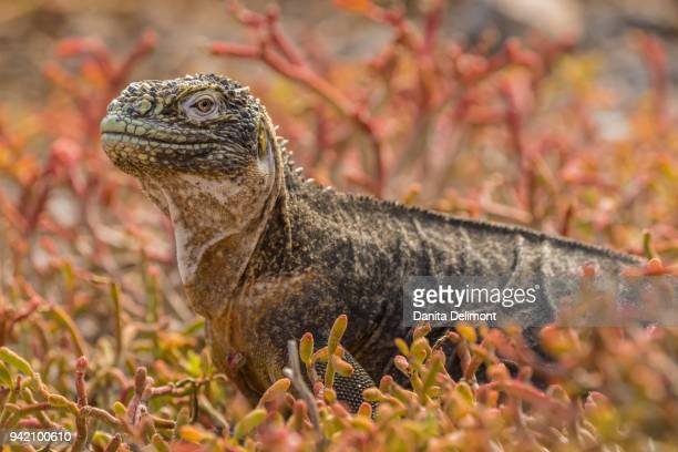 land iguana (conolophus subcristatus) in red portulaca plants, south plaza island, galapagos national park, ecuador - land iguana stock photos and pictures