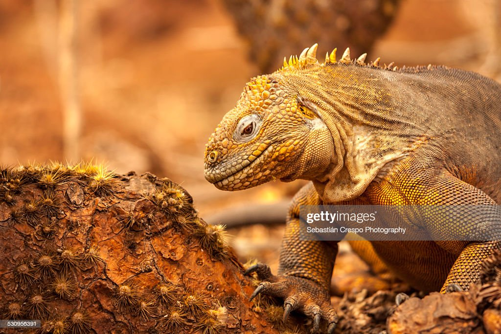 Land iguana looking for food : Stock Photo