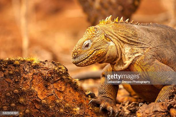 Land iguana looking for food
