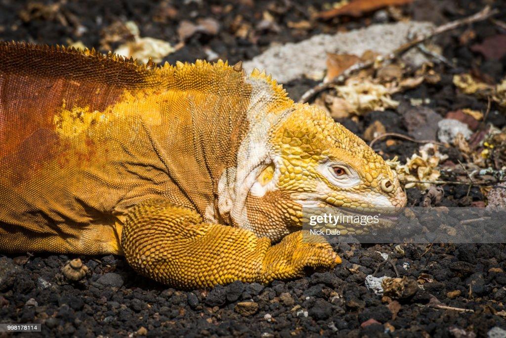 Land iguana lying on black volcanic rocks : Stock Photo