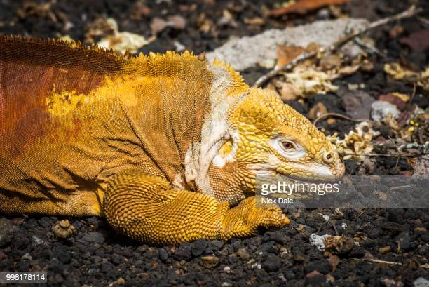 Land iguana lying on black volcanic rocks