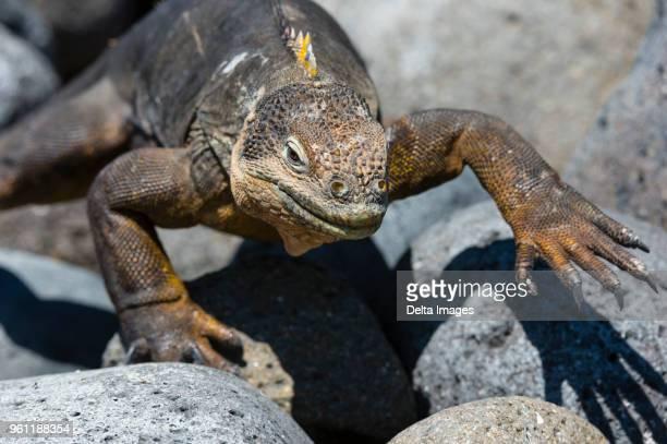 land iguana (conolophus subcristatus) on rocks, close up, south plaza island, galapagos islands, ecuador - land iguana stock photos and pictures