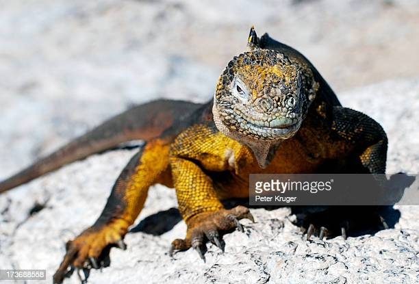 land iguana on the galapagos islands - land iguana stock photos and pictures