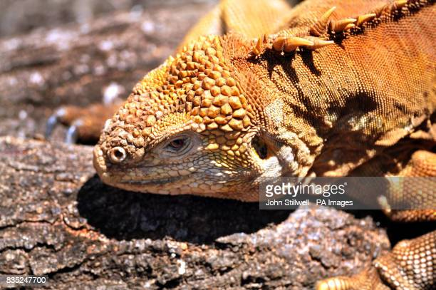 A land Iguana on the North Seymour Island on the Galapagos Islands of Ecuador in the Pacific Ocean
