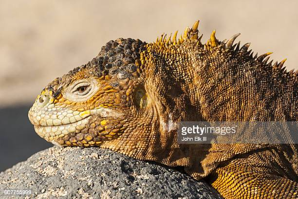 land iguana - land iguana stock photos and pictures