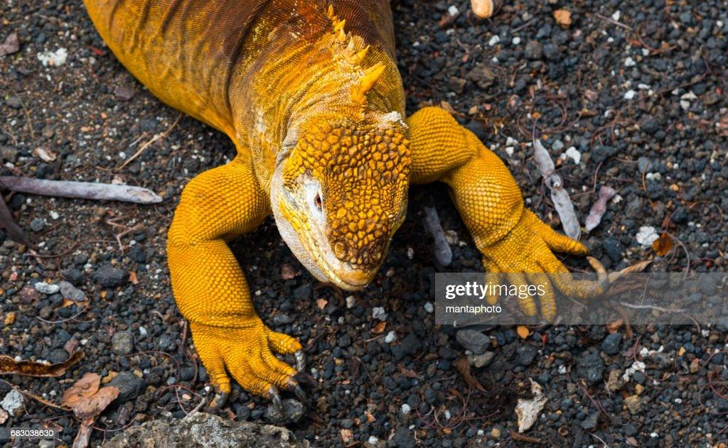 iguana Terrestre : Foto de stock