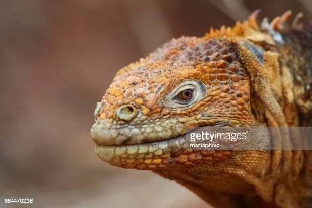 land iguana - galapagos land iguana stock photos and pictures