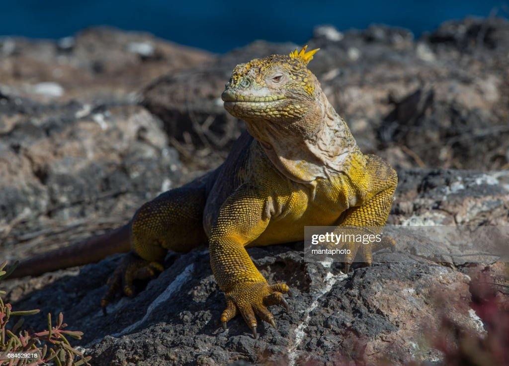 Land iguana : Stock Photo