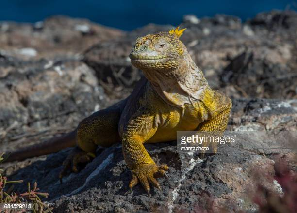 iguana terrestre - iguana fotografías e imágenes de stock