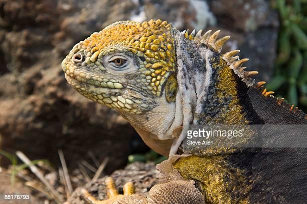 land iguana - land iguana stock photos and pictures