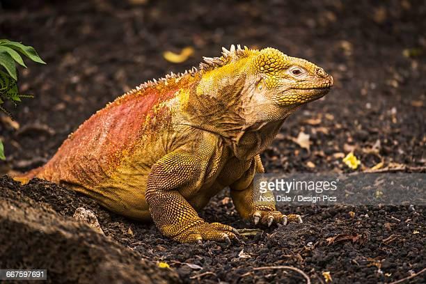 land iguana (conolophus subcristatus) sitting on black volcanic rocks - land iguana stock photos and pictures