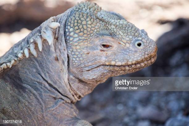Land Iguana stands in Santa Fe Island on February 22 in Galapagos, Ecuador. This is a species of lizard in the Iguanidae family only found in...