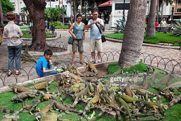 land iguanas at bolivar park are fed lettuce - guayaquil fotografías e imágenes de stock