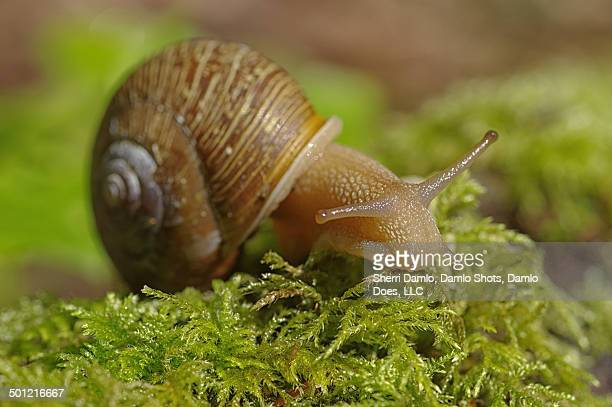 land snail on moss - damlo does stock pictures, royalty-free photos & images