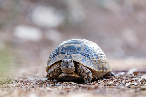 Land tortoise (Turtle). Cryptodires retract their neck backwards. 1011808952