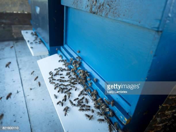 Landing board of beehive full of bees