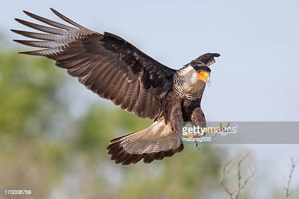 landing gear down.. - hawk stock photos and pictures