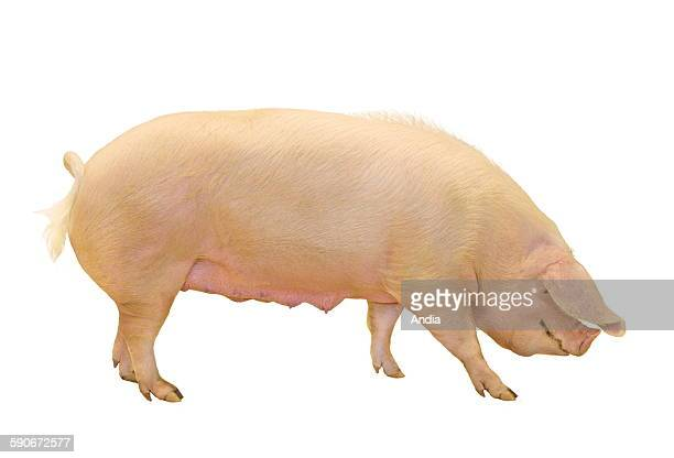 Landrace sow photo that can be cut out