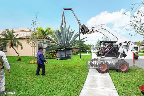 landscaing :巨大な植物アガーベを移動 - 造園師 ストックフォトと画像