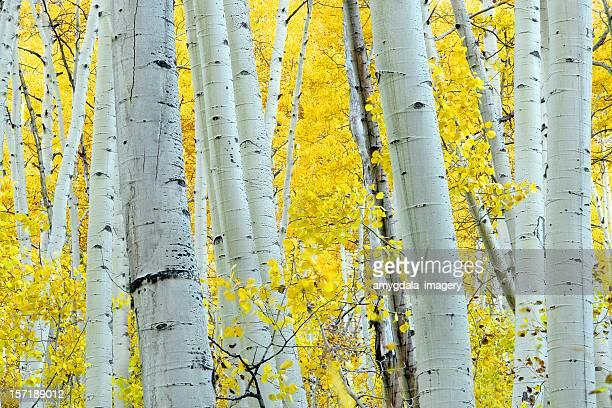 landscape autumn aspen tree yellow - populier stockfoto's en -beelden