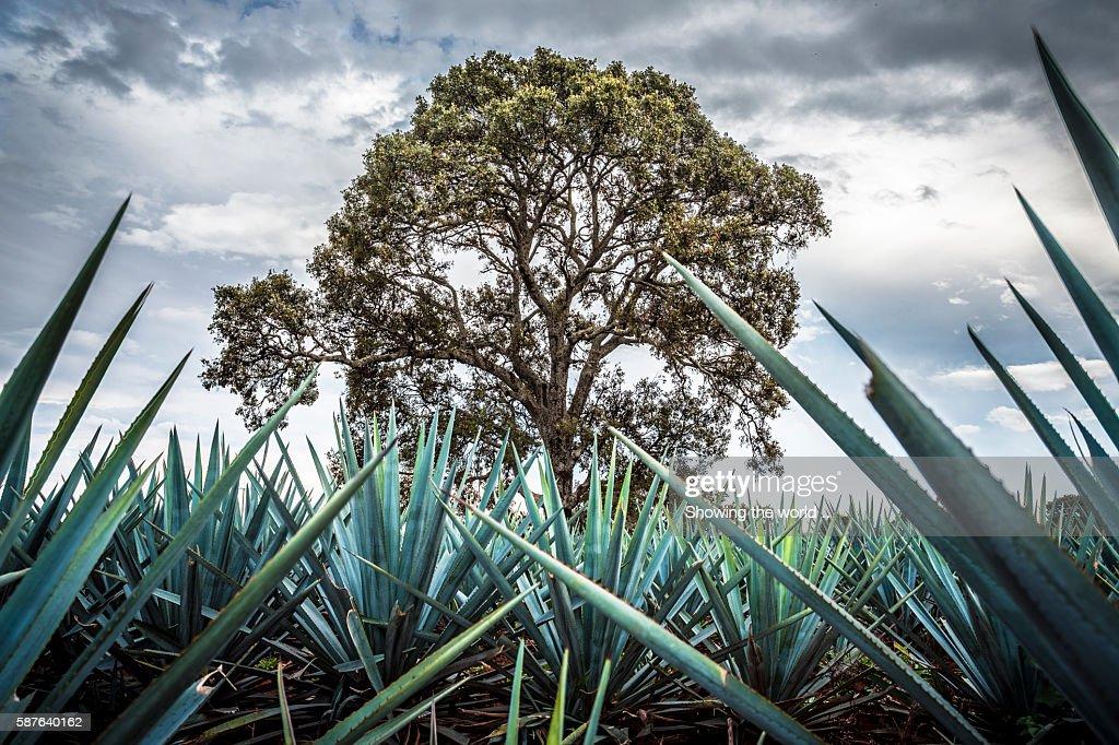 Landscape blue agave in Jesus Maria, Jalisco : Stock Photo