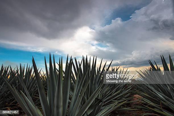 Landscape Blue Agave