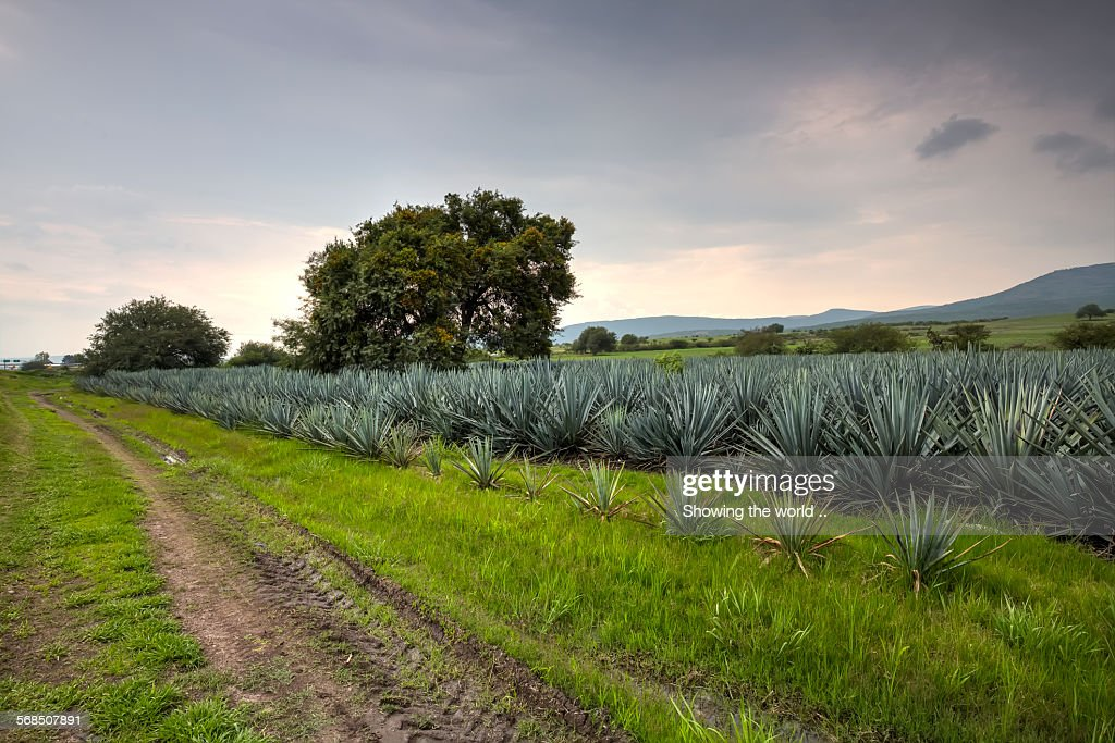Landscape blue agave : Stock Photo