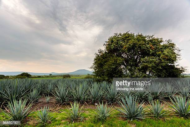 landscape blue agave - jalisco state stock pictures, royalty-free photos & images