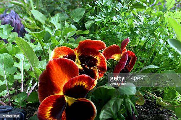 Landscape designer Anthony Kienitz creates landscapes with edible plants The yard is at the home of Kathy Segal in Franklin Hills LA ^^^ Pansies...