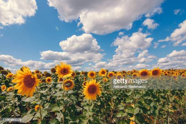 landscape field with sunflowers - rostov on don stock pictures, royalty-free photos & images