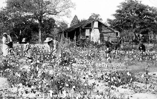 Landscape full length shot of women picking cotton Southern Pines North Carolina 1914
