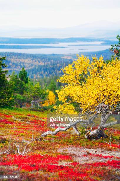landscape in autumn - swedish lapland stock photos and pictures