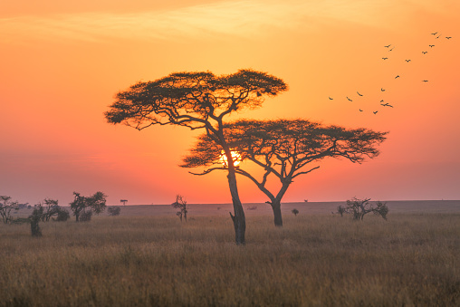 A landscape in the Serengeti national park, early morning with sunrise scence. 864884972