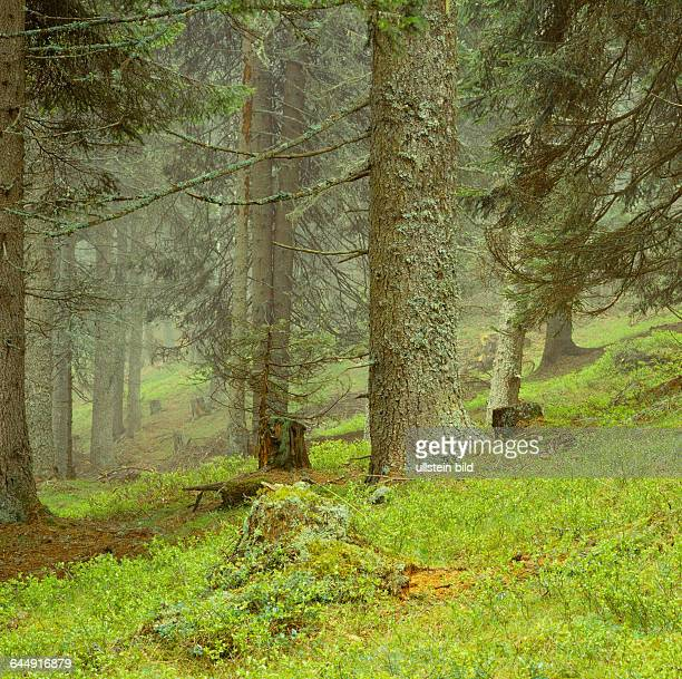 Landscape; Italy; Europe; South Tyrol;Forest, coniferous forest, coniferous, Spruce, Picea, Bryophyte