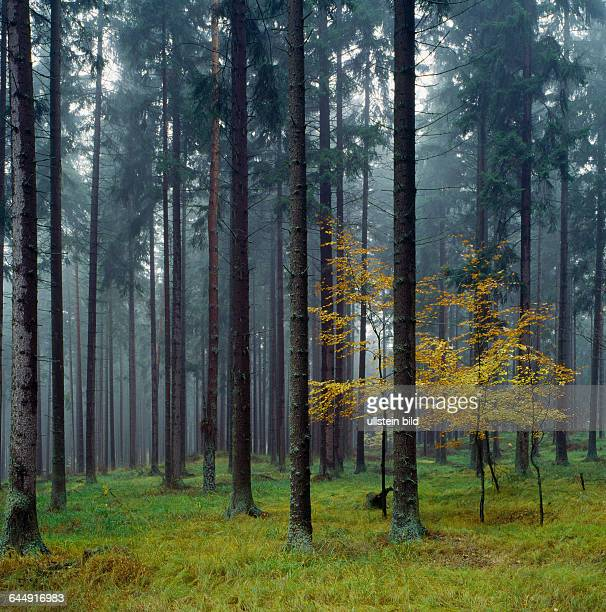 Landscape Italy Europe South TyrolForest coniferous forest coniferous Spruce Picea Bryophyte