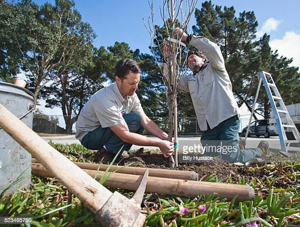 Landscape maintenance workers planting a tree outside in a park