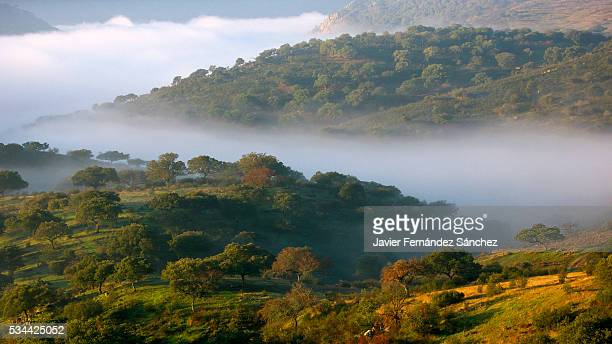 landscape monfragüe national park with its oaks in the fog. - cork tree stock photos and pictures