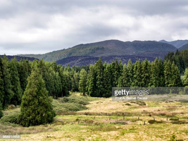 Landscape of a humid forest of big trees (Erica azorica and Cryptomeria japonica), and craters volcano in island of Terceira, Azores islands, Portugal.