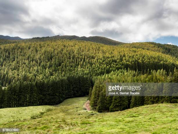 Landscape of a humid forest of big trees (Cryptomeria japonica), in island of Terceira, Azores islands, Portugal.
