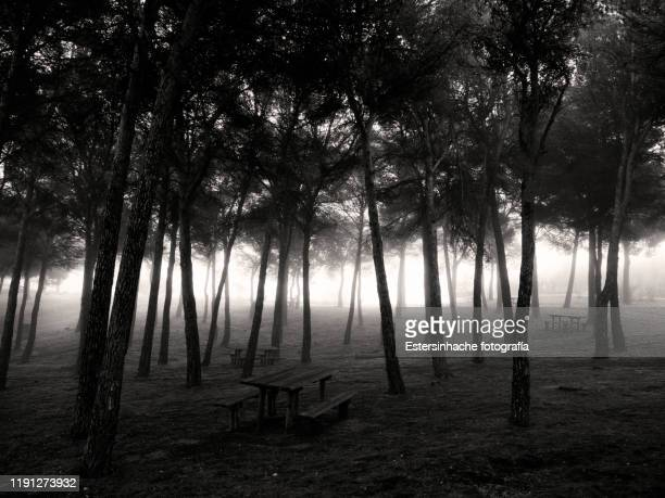 landscape of a pine field in the fog - 松林 ストックフォトと画像