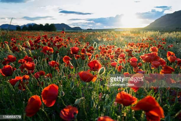 landscape of a poppy field - magnoliophyta foto e immagini stock